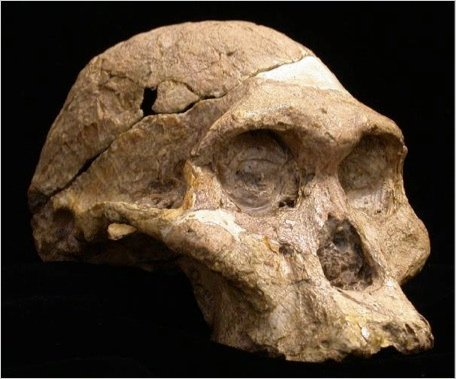 "This is ""Mrs. Ples"", the most famous example of Australopithecus africanus  from Sterkfontein cave in South Africa. Researchers studying the diet of human ancestors who lived two million  years ago in southern Africa have unexpectedly come across a crucial  clue to their social structure. By analyzing fossil teeth of australopithecines in Africa, scientists found that the males stayed close to home, while the females dispersed after  puberty, just like chimpanzees!"