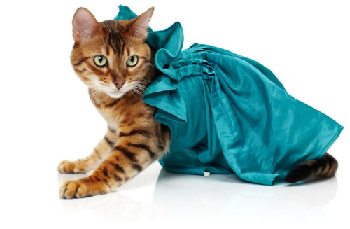 (via Noah Sheldon : Cats Wearing Clothes noah sheldon-cats wearing clothes-2 – Trendland: Fashion Blog & Trend Magazine)