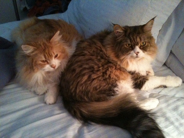 Maine Coon Heap by rethought on Flickr.