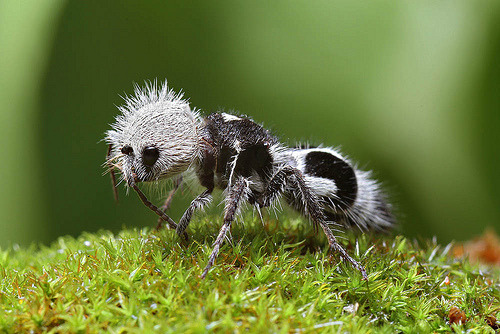 magicalnaturetour:  Panda ant (by Chris Lukhaup) :)