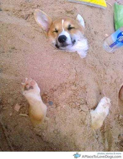 aplacetolovedogs:   pinterest A Corgi is enjoying being covered with cool sand at the beach Original Article