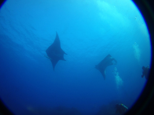 Mantas on Flickr. A couple of manta rays we caught on camera on a recent company trip to the Revillagigedo Islands.
