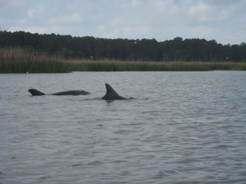Dolphins!! Off the starboard bow!! (Hopefully that last bit is correctly, cause I honestly have no idea, but the first bit is absolutely true.)