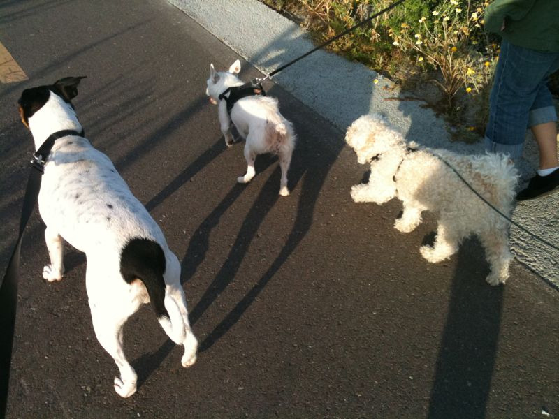 Walking the pups. Tobuscus, White, and Zeus.