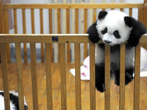PANDAs are adorable! inner peace! .v. -camx