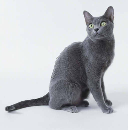 "crosseyedstitch:  nothingmuchinparticular:  This cat is a Korat. I saw one in person, and they are so beautiful.   This is what my kitty baby is. I seriously doubt she's a ""purebred"" Korat as she was a feral kitten at an orphanage (also - how sad does that sound?!) I'd say Magaggie is a bit shorter and rounder than this one and at least twice as evil. She's still got her feral thing going on, but when she's lovely, oh how lovely it is.  We're pretty sure that Shampoo is a Korat."
