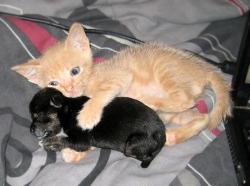 Kitten spoons orphaned chihuahua puppy. This can only mean it's Friday. TGIF.