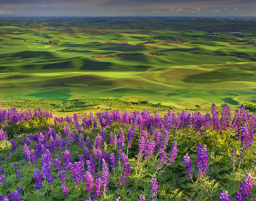 Lupine Spring In The Palouse by kevin mcneal on Flickr.