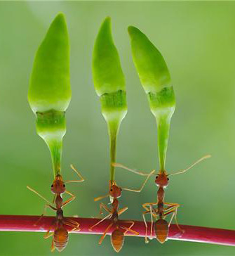"Ants with their ""balanced"" chili diet"