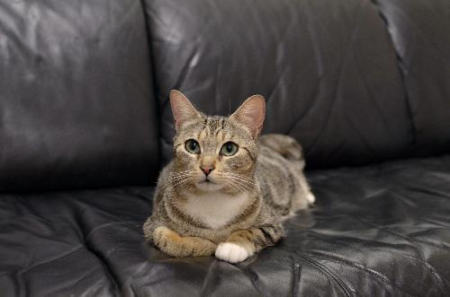 RUBY | Bengal/Domestic Short Hair Mix:                 An adoptable                                cat                                 in                 Cypress, CA