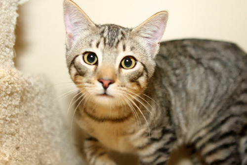 Jamie | Bengal/Maine Coon Mix:                 An adoptable                                cat                                 in                 Yorba Linda, CA