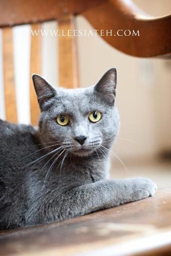 ID40684_Cage 105 | Russian Blue Mix:                 An adoptable                                cat                                 in                 Decatur, GA