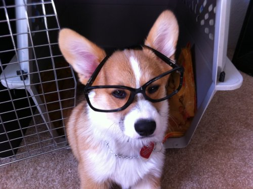 "Yet another hipster dog… charlestonchewbearz:  ""I iz obviously smart than youz"""