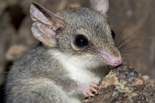 "RED-TAILED PHASCOGALE (Phascogale calura) I love Australian names — if Phascogale isn't complicated enough it is also known as the Red-tailed Wambenger. Either way, a big name for a little animal. This lightweight marsupial (1-2 ounces/35 to 70 grams) is around 4""/100mm (body +head) in length with a tail around 5-1/2""/140mm long. Its scientific name means ""beautiful-tailed pouched-weasel"". Though it  is an arboreal species and as such a great leaper and climber, it forages for food mainly on the ground. The Red-tailed Phascogale has a varied diet, and can feed on insects and spiders, but also small birds and small mammals, notably the House Mouse (Mus musculus); it does not drink as its water is retained through its food. Interesting to note: It prefers areas containing the Wandoo (Eucalyptus wandoo) and the Rock Sheoak (Allocasuarina huegeliana), and it has developed a resistance to the fluoroacetate the plants produce that is lethal to livestock. Most native animals have a resistance to this fluoracetate, but introduced species, like the Red Fox (Vulpes vulpes),  do not, so it has been suggested that the Red-tailed Phascogale's  survival could be attributed to this chemical. It may seem weird to talk about an animal's tail and not show it, but I liked its face, the entire animals can be seen on the click-though or at any of the source links. Fact Source: http://en.wikipedia.org/wiki/Red-tailed_Phascogalehttp://teacherstimesaver.com/floral/phasco.htmhttp://australian-animals.net/phas.htm Other photos of Australian animals you may like: Southern Hairy-Nose Wombat A handful of Bandicoot Galah or Roseate Cockatoo"