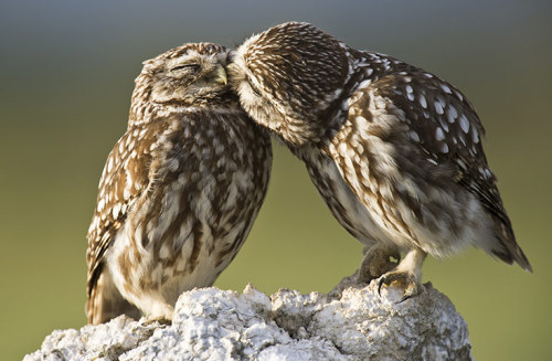 rhamphotheca:  A pair of Little Owls (Athene noctua) get affectionate outside Lleida, Spain, with mating season now imminent. (photo: Roy Mangersnes) (via: Guardian UK)