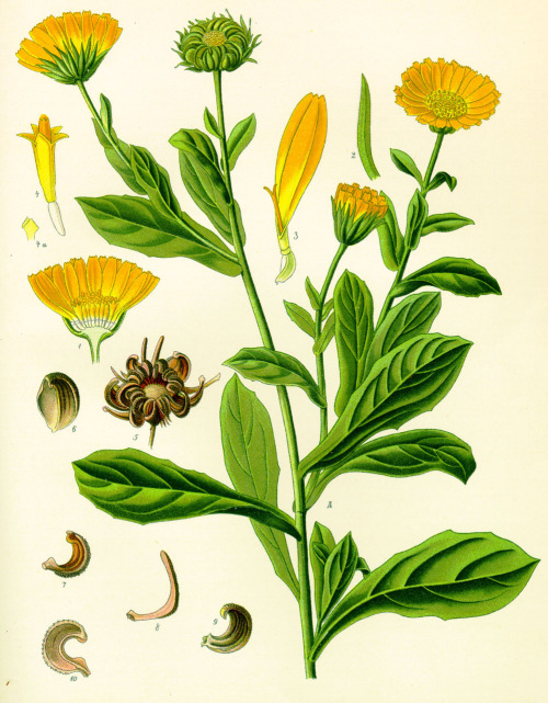 herbalhealing:  Calendula (Calendula officinalis) Calendula is a wonder herb that produces a beautiful flower that exudes sunshine and joy.  To harvest this highly resinous flower, pick it at its peak on a warm summer day.  When making medicine with calendula, it's almost always dried first.  Drying calendula for oils decreases the water content, making a more stable oil, and it also concentrates the resins in the plant. When making a tincture of  calendula, a higher-proof alcohol will extract more of the resins.  Calendula will grow readily in your garden, often self-seeding after the first year of planting.  By snipping the flowers regularly, you promote its growth. Calendula has an affinity to encourage connective tissue to regenerate, therefore it can be made into oils and salves and used for a variety of skin conditions including:  Rashes Burns Scars Scrapes Varicose veins Broken capillaries Chicken Pox Fungal infections like athlete's foot Internally it can be used to treat swollen lymph glands and soothe ulcers You can also spread the fresh petals over your salads for added color and beauty This is a must have herb for any budding herbalist (pun intended).  Shortly I will be posting a how-to for making calendula-infused oils and salves, which are like nature's Neosporin!  Smooth on some calendula salve and your skin problems will be solved in no time!