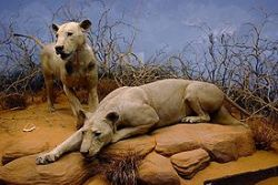 The Maneaters of Tsavo. Learn more about these two lions here.