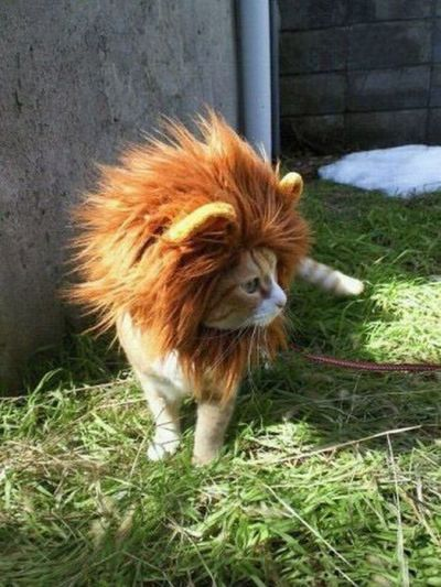 Submitted by ahnoed I'm gonna be king and rule this backyard with this mane of fur.