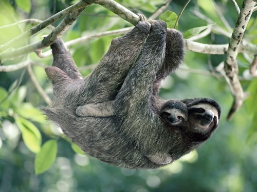 Three-toed Sloths spend most of their lives hanging upside down from trees. They are very inactive creatures, but they do climb down to the ground once or twice a week to excrete or move to other trees. Three-toed Sloths feed by pulling on flimsy branches with their forelegs, to bring them close to their mouths. They spend long periods waiting for their tough food to digest. Because they are so inactive, Sloths have a lower body temperature than other mammals - sometimes as low as 24°C (75°F). Their fur is sometimes tingled with green because algae are growing in it. The Sloths may absorb some of the algal nutrients through their skin, and the green colour helps to camouflage them among branches and leaves. Sloths have very simple societies. They live alone and females only produce offspring every two years. Mating can occur throughout the year though, with both partners still hanging upside down. Mothers give birth in this position too, and the young cling to the hair on the mothers breasts. Habitat: Coastal forest Food: Young leaves, twigs and buds Life Span: 20 Years Status: Endangered Breeding: Single born young throughout the year