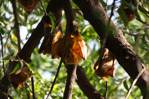 Gambian Epauletted Fruit Bats are found across the non forested areas of Central Africa, distributed from Senegal and Mali to Ethiopia and also south to eastern South Africa. They roost in small groups in trees and are most common along the edges woodlands. (The trees are more widely spaced in a woodland than in a forest). This species of bat eats figs, mangoes, guavas and bananas. They also like to suck nectar from some large flowers. Like most other fruit bats, it does not echolocate; instead, it finds food primarily using its sense of smell, following the scent of ripe fruits through the dark. The bats large eyes allow it to see well in the darkness so it can avoid obstacles while in the air. Gambian Epauletted Fruit Bats live in mix-sexed groups, Males mate with several females during both the spring and autumn breeding seasons. Pups are nursed by other females in the roosting group, most of which are probably the pup's aunts. In most bat species, mothers must leave their pups in the roost when they go to feed, but the pups of this species come along for the ride, clinging to their mothers chest as she flies. Habitat: Woodland and savannah Food: Fruits, such as banana, guava, figs and mangoes. Also feeds on nectar Life Span: 20 Years Status: Common Breeding: 2 litters born each year