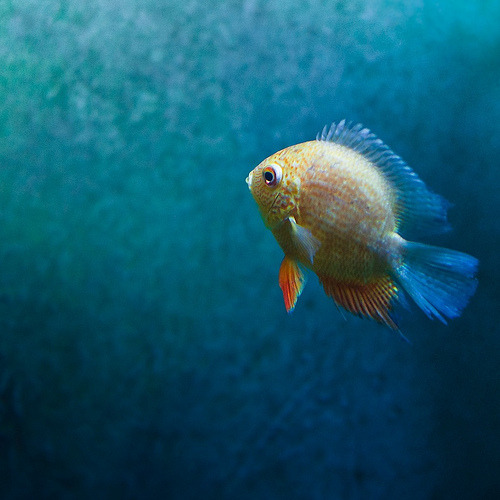 Freshwater Cichlid in New Zealand (by ►CubaGallery)