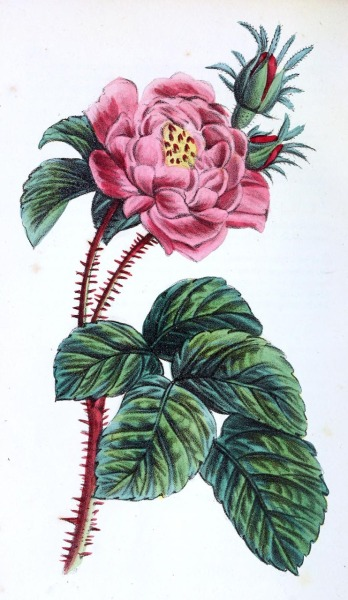 oldbookillustrations:  Rosa centifolia. From Flora Medico-Farmaceutica vol. 2, by Felice Cassone, Turin 1847. (Source: archive.org)