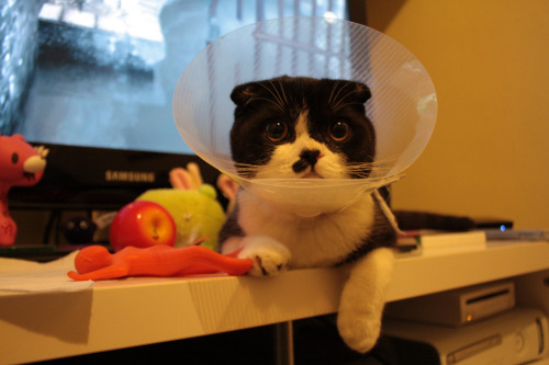 Life through a cone. Porkchop has grown accustomed to his cone, but it means he can't scratch his head, so we have to do it for him. The Meowsworths are going back to the vet for their post-op checkup soon so hopefully he won't have to put up with it much longer. If that means we don't have to keep wiping shit off it, or rescuing him from becoming wedged under the sofa, so much the better…