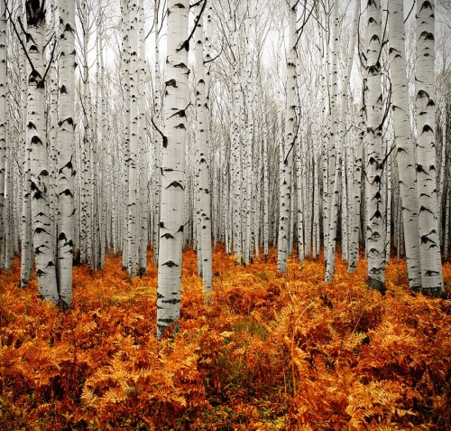 "theworldwelivein:  (via 500px / Photo ""Aspen Forest"" by Chad Galloway)"