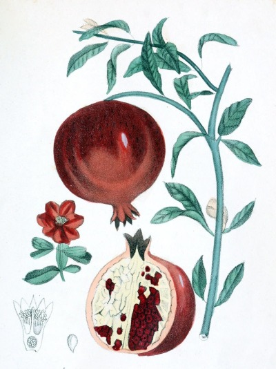 oldbookillustrations:  Pomegranate (Punica granatum). From Flora Medico-Farmaceutica vol. 2, by Felice Cassone, Turin 1847. (Source: archive.org)