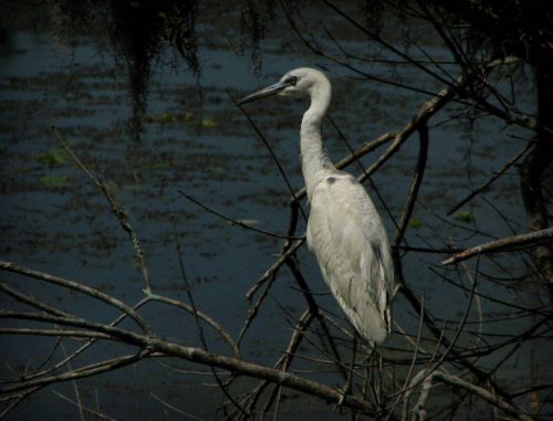 A crane (bird) on the Hillsborough River in Tampa Florida at Lettuce Lake Park. Such a variety of wildlife.