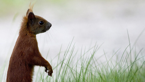 this just makes me sooo happy to look at :DDD  A red squirrel in Zeuthen, north-eastern Germany