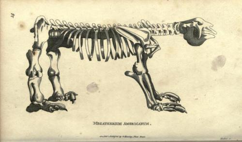 """Great Beast"" (Megatherium) skeleton, from George Shaw's Zoological Lectures delivered at the Royal Institution, 1800.  Megatherium americana was one of the few species of South American megafauna to not die out soon after the Great American Interchange at the beginning of the Pliocine era, and there's evidence that it was encountered and hunted by early humans, especially after it expanded northwards into southern North America. The size of a bull elephant, Megatherium were largely quadrupeds, but could use their massive tail as a tripod-like base to allow themselves to stand on their hind legs and pull down the choicest branches of leaves. Their somewhat smaller (rhino-sized) ancestor Promegatherium is believed to be a direct ancestor of both Megatherium and modern-day sloths."