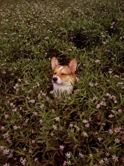 corgiaddict:  This is my 3 year old corgi, Cricket. :) submitted by: mustlikedogs be one with the bush. then they will not find you.