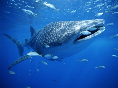 "Whale Sharks are slow moving filter feeding sharks, the largest living fish species. The heaviest Whale Shark ever recorded was 36 tonnes (79,000 lb), but there have been unconfirmed reports of larger Whale Sharks. The Whale Shark is found in tropical and warm oceans, they are known to migrate every spring to the continental shelf of the central west coast of Australia.  Although whale sharks have very large mouths, they feed mainly, though not exclusively, on plankton, microscopic plants and animals, although the BBC program Planet Earth filmed a whale shark feeding on a school of small fish. The Whale Sharks mouth can contain between 300 and 350 rows of teeth, and has 5 large pairs of gills. The Whale Shark mainly feeds on macro-algae, plankton, krill, Christmas Island red crab larvae and small nektonic life such as small squid or vertebrates. The many rows of teeth play no role in feeding; in fact, they are reduced  in size in the whale shark. Instead, the shark sucks in a mouthful of  water, closes its mouth and expels the water through its gills. During  the slight delay between closing the mouth and opening the gill flaps,  plankton is trapped against the dermal denticles which line its gill plates and pharynx.  This fine sieve-like apparatus, which is a unique modification of the  gill rakers, prevents the passage of anything but fluid out through the  gills, trapping anything above 2 to 3 millimetres (0.079 to 0.12 in) in  diameter. Material caught in the filter between the gill bars is  swallowed. Whale sharks have been observed ""coughing"" and it is presumed  that this is a method of clearing a build up of food particles in the  gill rakers. Whale sharks migrate to feed and possibly to breed. Habitat: Tropical and warm temperature oceans Food: Plankton, macro-algae, krill, christmas island red crab, squids and vertebrates. Life Span: 70 Years Status: Vulnerable Breeding: Litters have varied from 20 pups to 100"