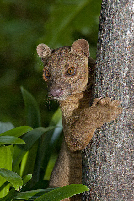 FOSSACryptoprocta ferox ©sdzooglobal Other posts: Adult Female Fossa Malay Civet Cat Kopi Lewak - Asian Palm Civet —- wildlifecollective:  FossaCryptoprocta ferox Fossas are the largest carnivorous mammals on the island of Madagascar. While they have many cat-like features, they are actually more closely related to the mongoose. They are a widespread species, although population densities are usually low. They strictly live in forested habitats. They hunt both during the day and during the night. Over 50% of its diet consists of lemurs, tenrecs, rodents, lizards, birds, and other animals. Life expectancy is up to 20 years in captivity. The fossa is listed as vulnerable by the IUCN. It is generally feared by the Malagasy people and is often protected by their taboo. The greatest threat to their existence is habitat destruction.Facts | Photo