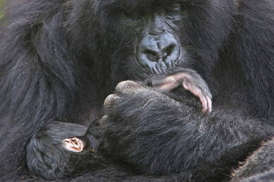 Mountain gorilla (Gorilla beringei beringei) mother cradling and kissing foot of 1 week baby, Volcanoes NP, Virunga Mountains, Rwanda© naturepl.com /Andy Rouse / WWF