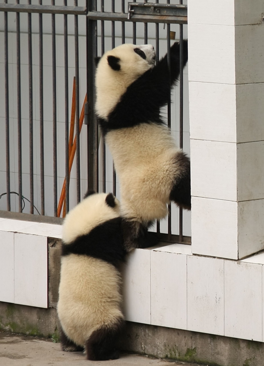 "fuckyeahgiantpanda:  ""Hold on tight, I almost got the lock."" © Ajay77*."