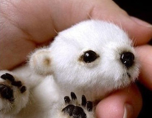 Just a baby polar bear. That is all.