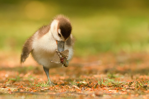 meloukhia:  theanimalblog:  small chick, big feet | by thrumyeye  [Image description: A young waterbird (probably a duckling) with one foot in the air for grooming purposes.]