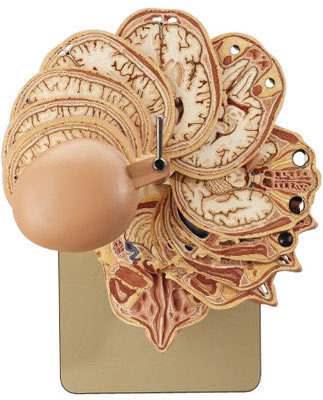 moshita:   brain model
