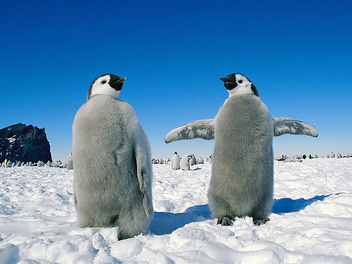 pinguins pinguins *—-*