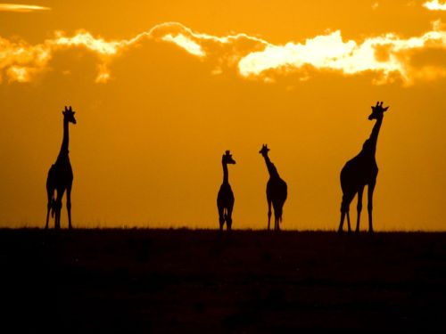 skeletales:  Giraffes at Sunset - National Geographic