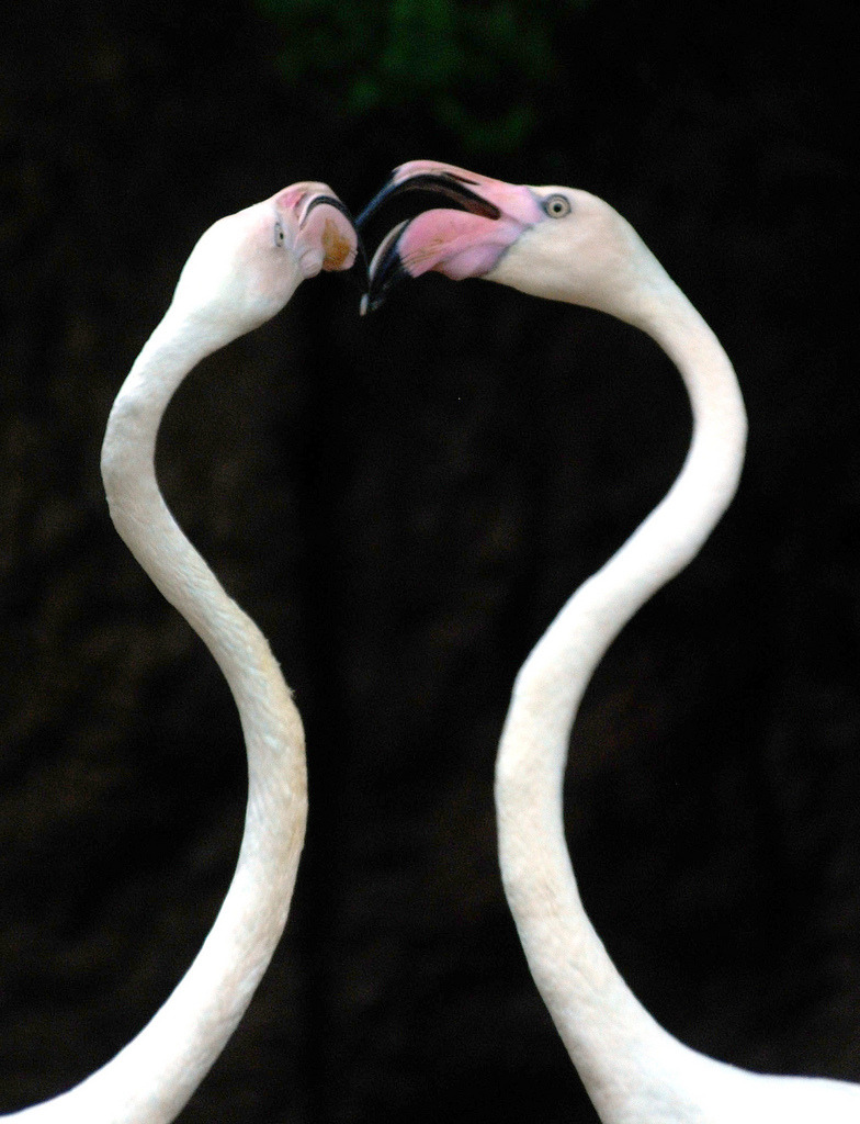 Flamingo (by floridapfe)