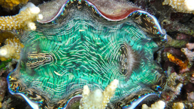 mothernaturenetwork:  It's a giant technicolor clam!What's up with this wildly colored giant clam? Is it real, is it electrified, is it going to explode? Find out in this post from scientist Stephanie Wear, who's in Palau with clams just like this one.