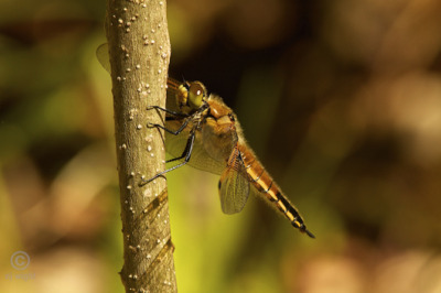 mothernaturenetwork:  How to photograph the graceful dragonflyThe joys of 'dragonflying,' and how photographing dragonflies in flight can be a lesson in patience. This story was written and photographed by one of MNN's local correspondents. If you'd like to write for MNN, apply to become a correspondent for your state.  My article was posted by MNN. Woot!!