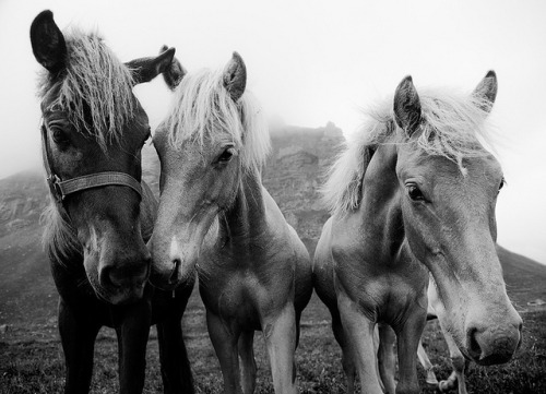Iceland - Icelandic Ponies by John & Tina Reid on Flickr.