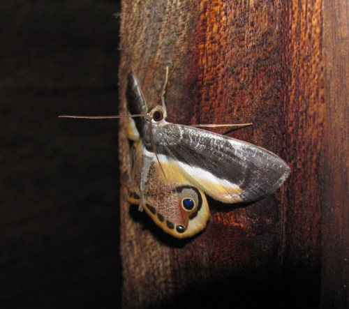 The great rhamphotheca says: Identification for La Manigua (moths):  Opisthoxia sp. AGHHHHHHHHHHHH!!! Ahem. This moth is definitely in the geometrid family (a HUGE moth family that contains multiple tribes and sub-tribes), but some taxonomists use Opisthoxia andOpthalmophora interchangeably and some use one or the other for various moths. :S Either way this genus complex isn't well documented, so I'm gonna have to be happy with getting this far with it. This moth is the same species… …And I say un millón de gracias. :)