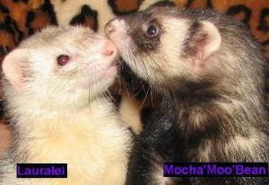 "Meet these adorable BFF's, ""Lauralei & Mocha Bean"" two ferrets from Cleveland, OH. Mocha Bean (sable) is a sweet, well behaved girl who is just 1 year old. She loves her friend and they need to be adopted together. Lauralei (silver) is 3 years old and is feisty! She loves to play and is a ball of fun. She is working on training for some nipping.These girls are great friends and are looking for a forever home, preferably without small children."