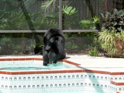 Bears love hot tubs.