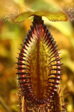 fuckyeahcarnivorousplants:  Nepenthes hamata  This is my new favorite plant.